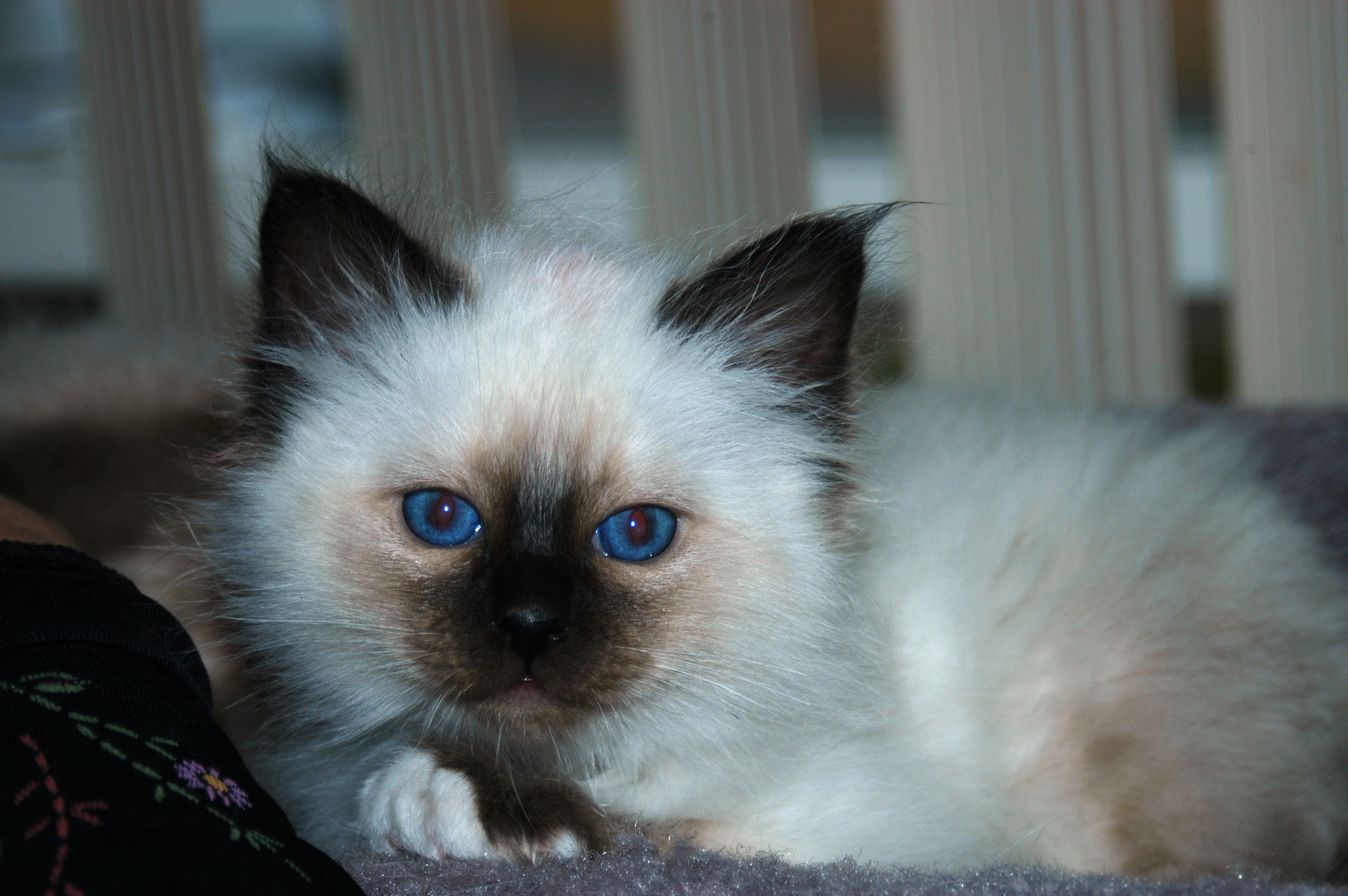 Birman Kittens For Sale Nj 8 Quick Tips Re...