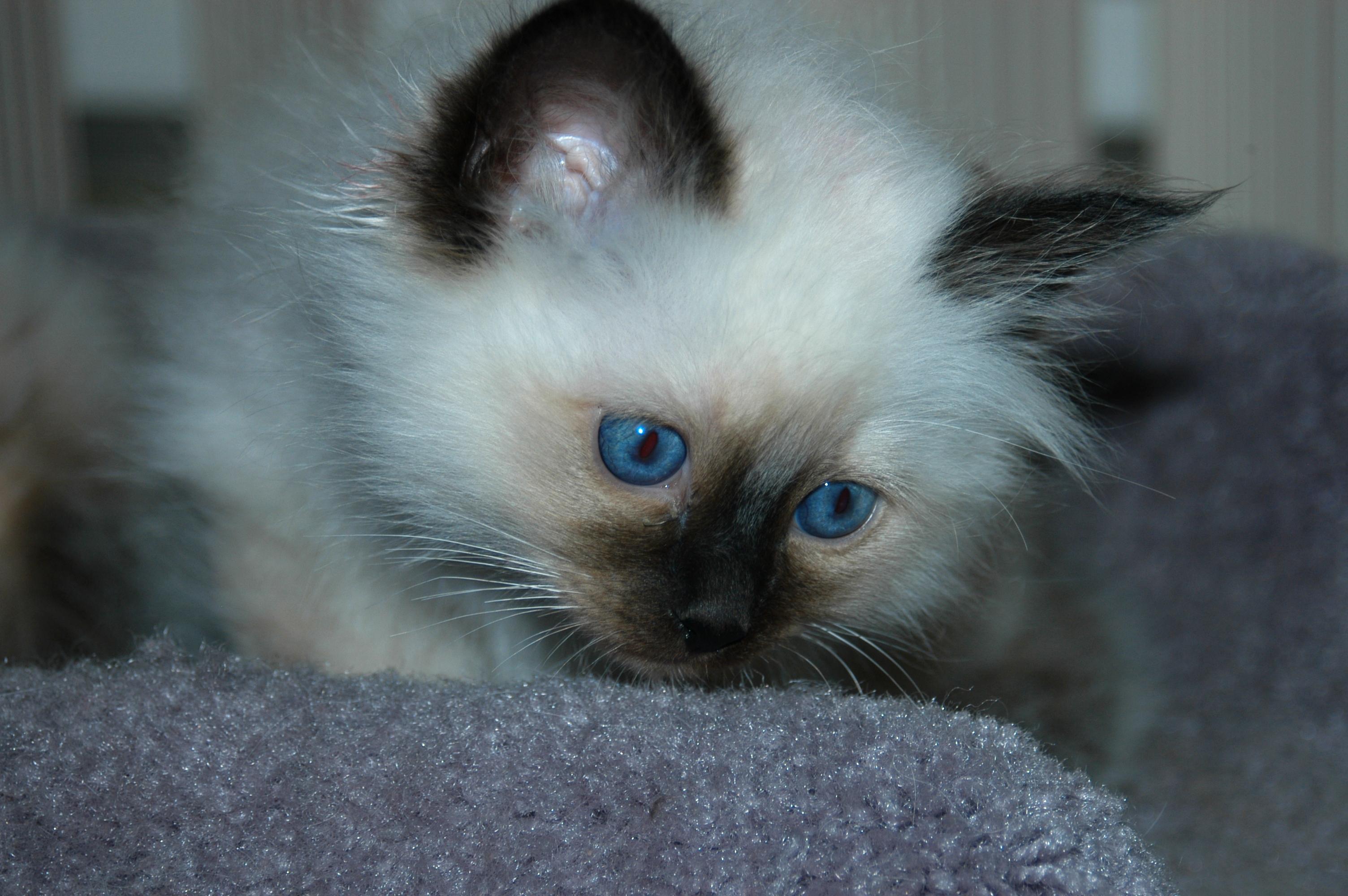 Birman Kittens For Sale Nj Top Ten Fantast...